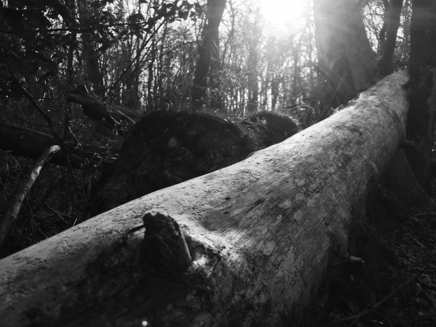 a fallen tree in the woods, rendered in highly saturated black and white, with the sun breaking through the forest behind