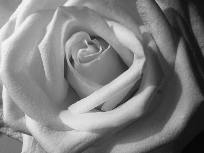 A black-and-white photograph of a pale rose, the focus lightly blurred, the petals unfurling.